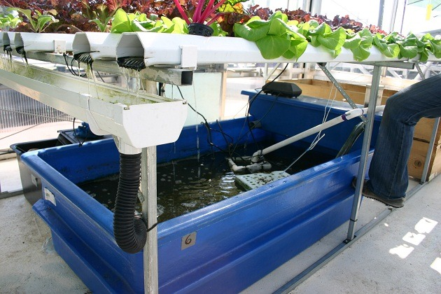 Aquaculture in Hydroponic system